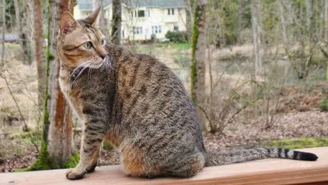 порода кошек аравийская