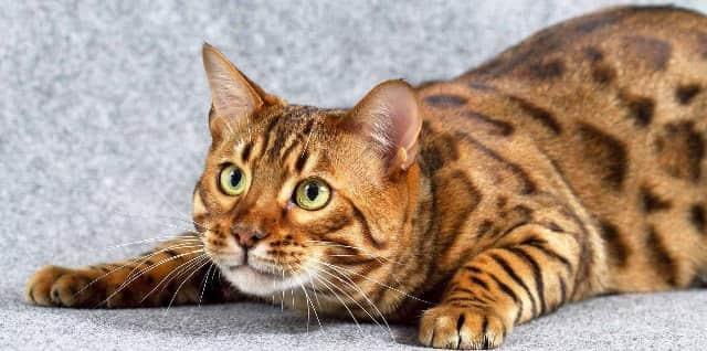 бенгальский кот играет