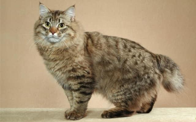фото кота американского бобтейла