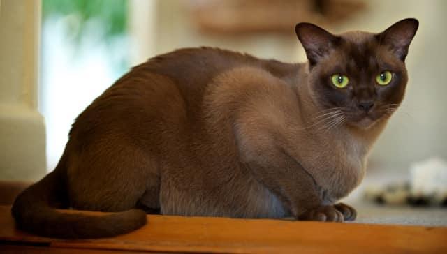 красивый окрас бурманской кошки