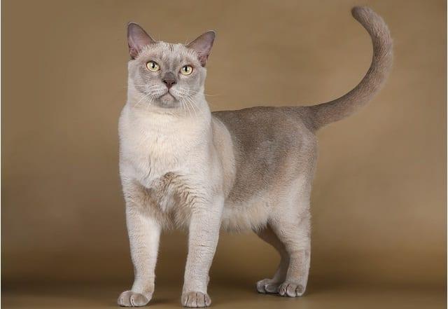 светлый окрас кошки