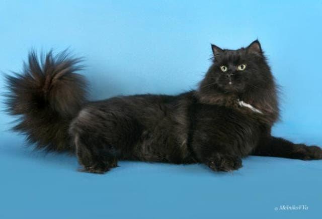 черный сибирский кот