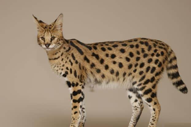 кошки саванна фото
