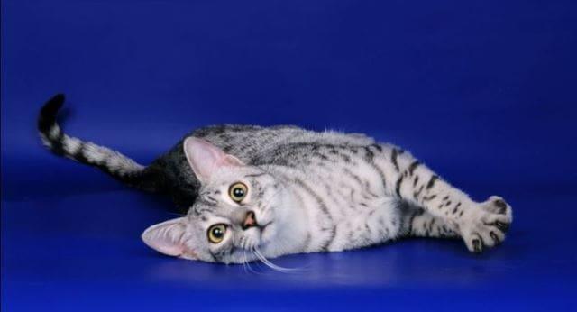 фото кошки мау
