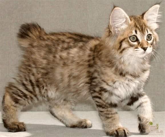 маленький котенок американский бобтейл