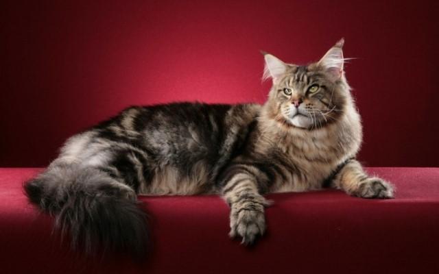 фото кота мейн-куна