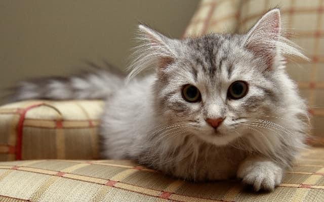 фото котенка сибирской породы
