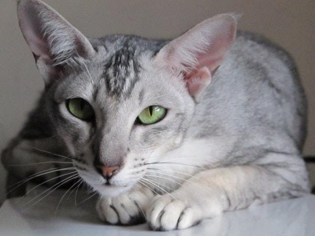 фото ориентальной породы кошек