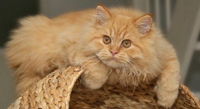 фото персидской породы кошек