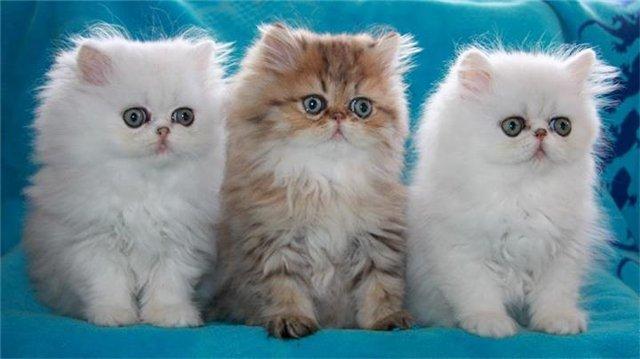 котята персидской породы