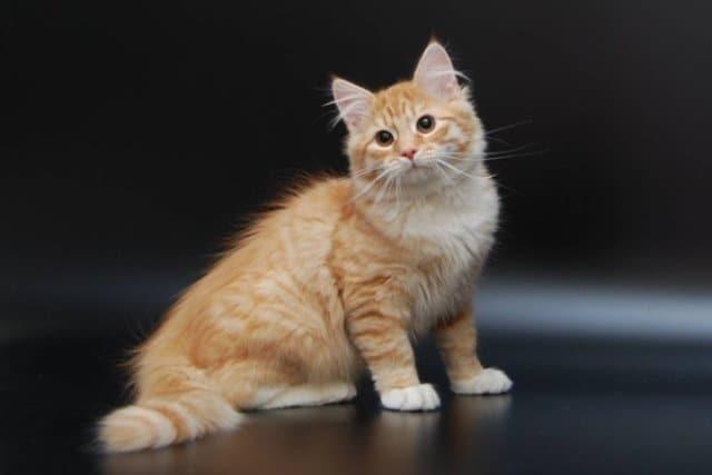 рыжий сибирский кот