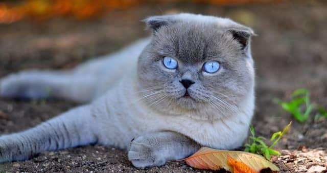 фото вислоухой кошки