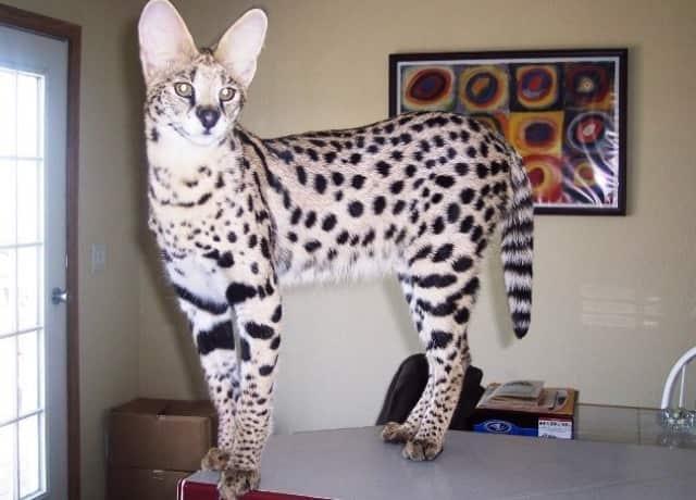 фото кошки сервала