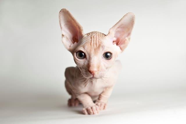 фото котенка донского сфинкса