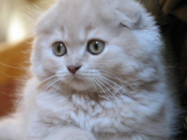 белая шотландская вислоухая кошка