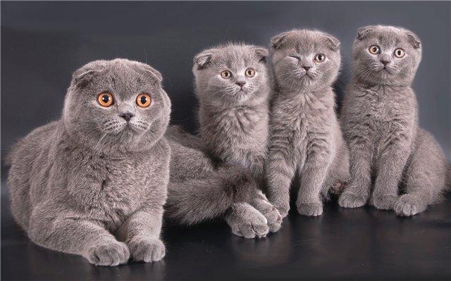 кошка и котята шотландской вислоухой породы