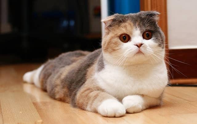 кошка шотландской вислоухой породы