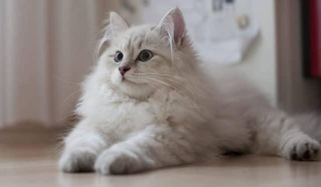 светлый сибирский кот