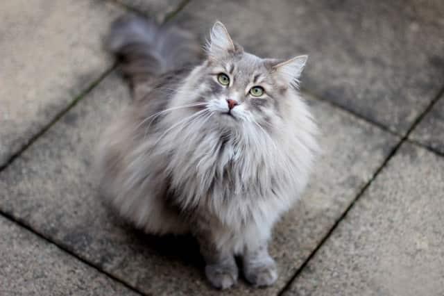 красивая кошка сибирской породы