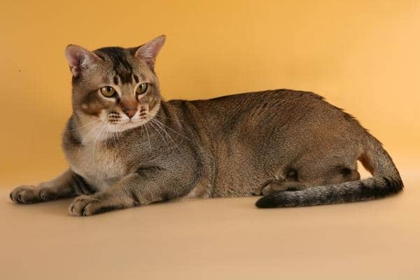 фото кошки азиатской табби