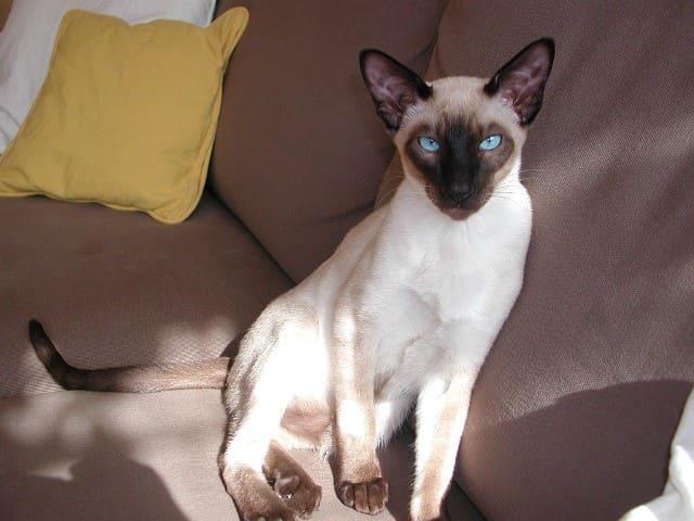 сиамская кошка на диване