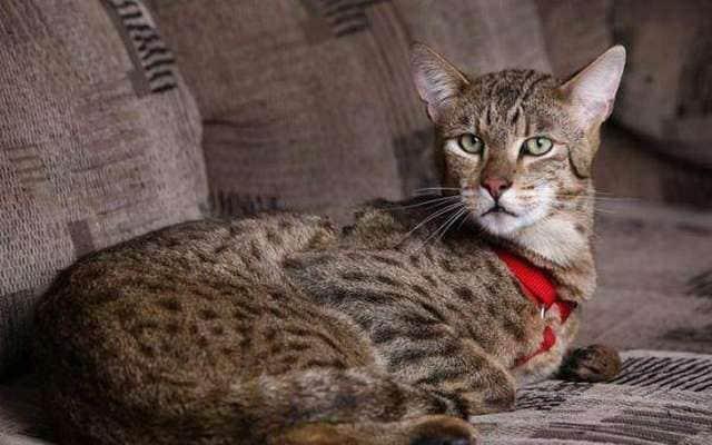 фото кошки ашера