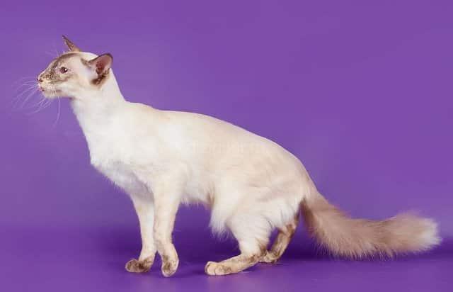 красивая кошка балинеза