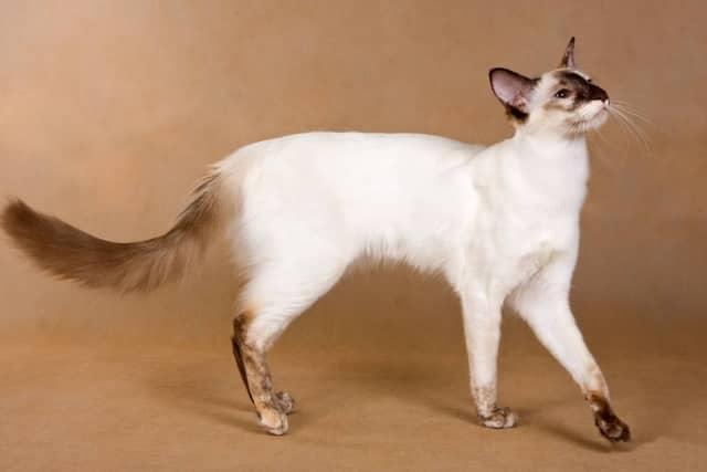 котенок балинеза