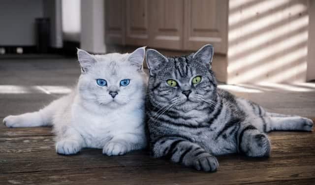 порода кошек британской короткошерстной