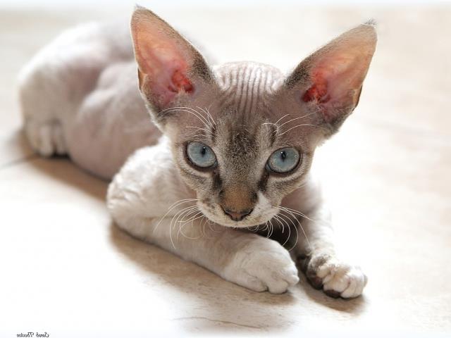 фото котенка девон рекса