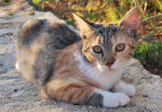 фото эгейской кошки
