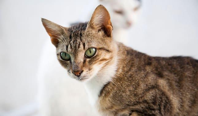 кошки эгейской породы