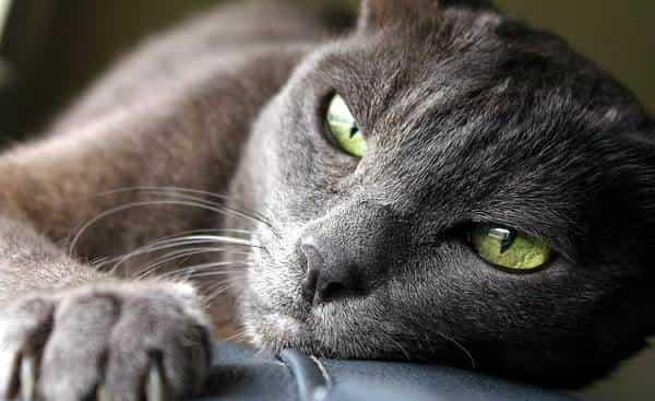 красивая кошка корат