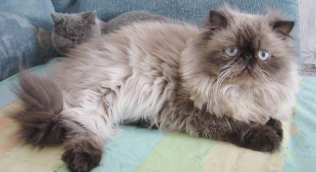 гималайская порода кошек