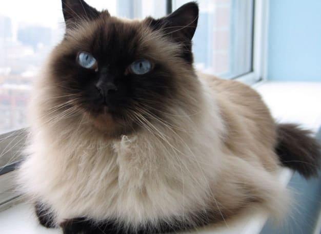 красивая гималайская кошка