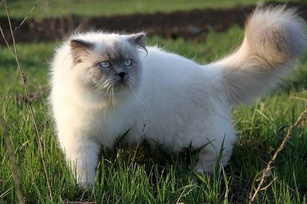 гималайская кошка на природе