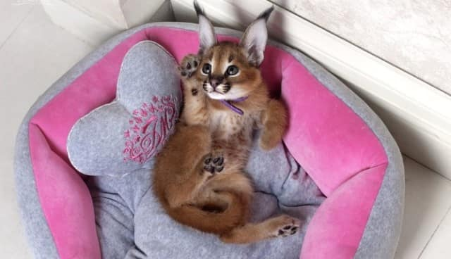 котенок каракала отдыхает