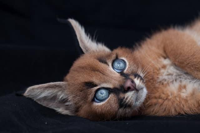фото котенка каракала