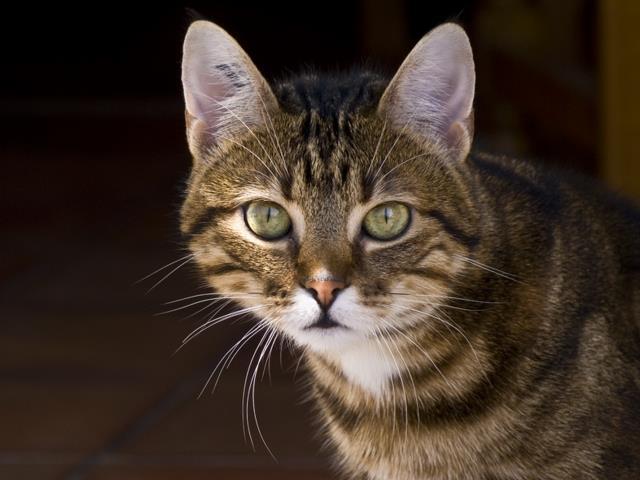 фото кошки кельтской породы