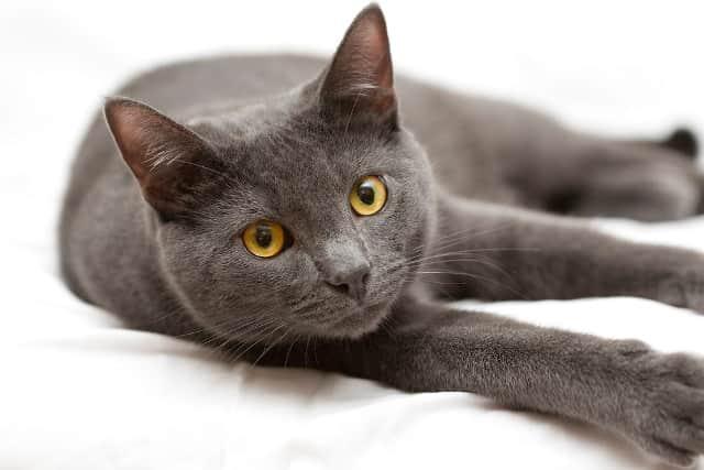 фото кошки корат