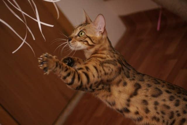 фото как кошка играется