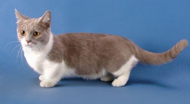 кошка манчкин
