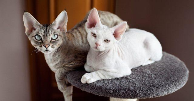 кошки девон рекса