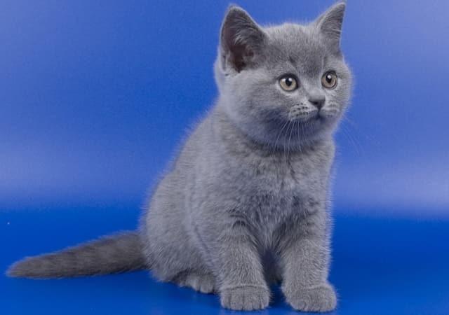 котята британской короткошерстной