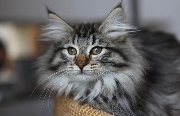котенок норвежской лесной