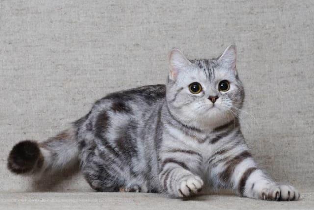 фото котенка скоттиш-страйт