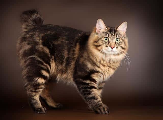 кошки породы курильского бобтейла