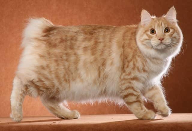 фото рыжей кошки бобтейла