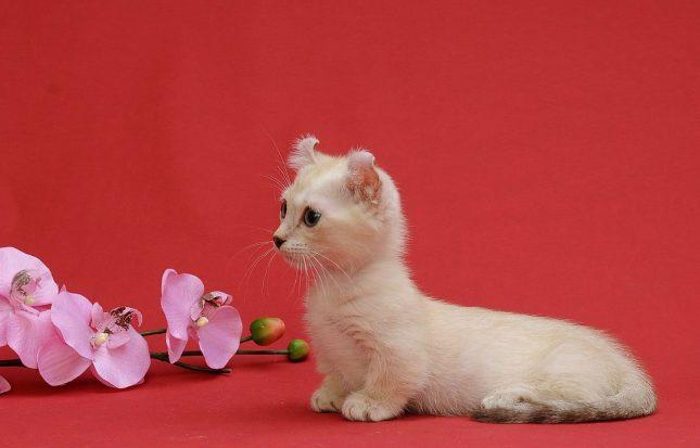 маленькая кошка кинкалоу