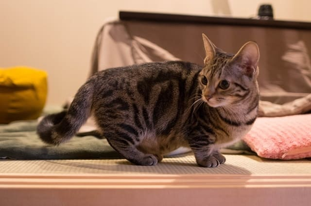 манчкин фото кошки